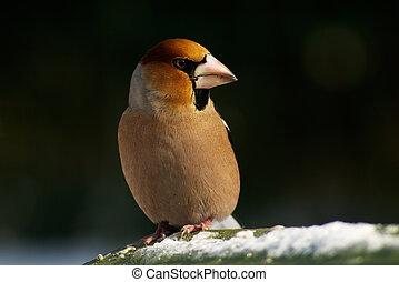 fugl, hawfinch