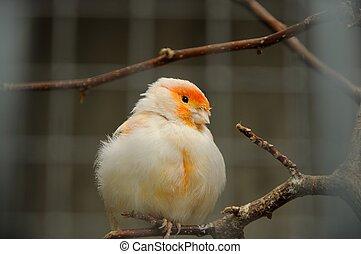 fugl, kanariefugl