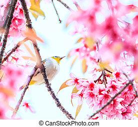 fugl, på, kirsebær blomstr, og, sakura, (white-eye, bird)