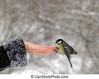 fugl, titmouse, hånd