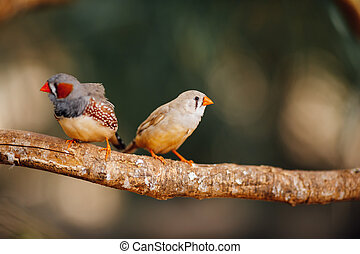 fugle, to, kanariefugl, branch
