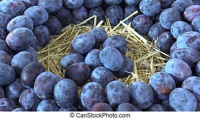 Fuits of plum Prunus variety, very resistant tree, crunchy...