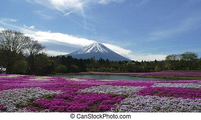Fuji Mountain with the field of pink moss (moss phlox, moss...