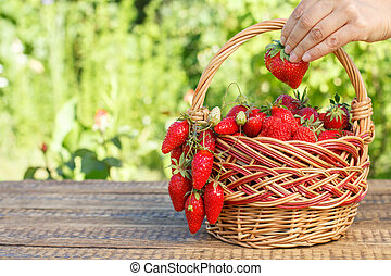 Full basket with just picked fresh red ripe strawberries and female hand