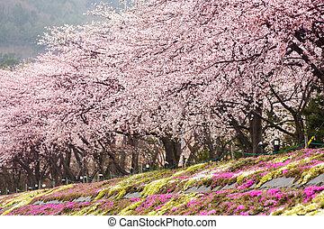 Full bloom cherry blossom with pink moss foreground at Kawaguchiko north shore lake