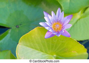 Full bloom lotus flower on water lake