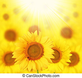 Full bloom sunflowers backlit by sun in a garden - Full...