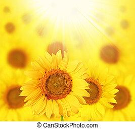 Full bloom sunflowers backlit by sun in a garden - Full...