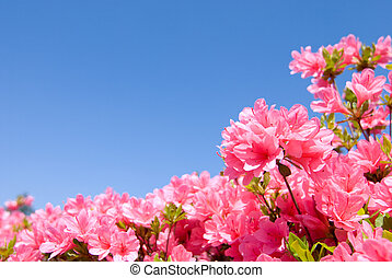 full blooming pink azalea - full blooming bright pink azalea...