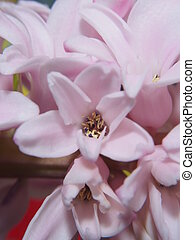 Full blossoms of the hyacinth. Pink flower petals.