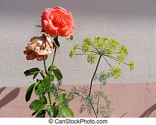 Full Blown and Fading Rose - A Salmon colored Rose bush, one...