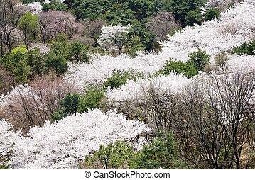 full blown Korean cherry blossoms in Nam-Mountain in Seoul, Kore