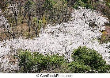 full blown Korean cherry blossoms in Nam-Mountain in Seoul, ...