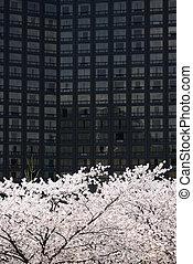 full blown Korean cherry blossoms in Seoul City