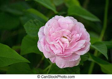 full-blown pink rose