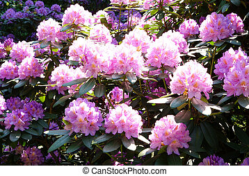 rhododendron - full-blown rhododendron tree flower as ...