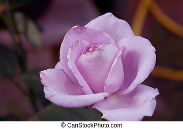 Full-blown rose pink on the bush shooting in the street