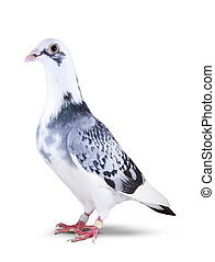 full body of beautiful homing pigeon bird isolated white background