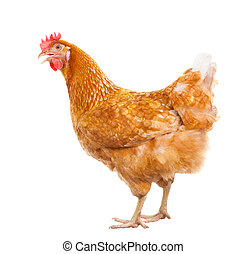 full body of brown chicken hen standing isolated white...