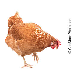 full body of brown chicken ,hen standing isolated white...