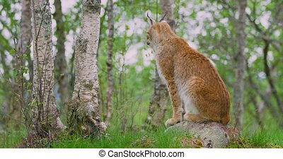 Full body portrait of a european lynx or bobcat sitting down at the forest floor in the summer. Looking for prey or enemies.