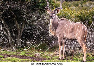 adult male Greater Kudu