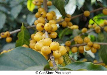 yellow coffee