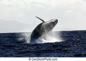 Full breach - Northern Pacific Humpback whale in a full...