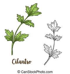 Full color realistic sketch illustration of cilantro