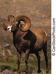 Full Curl Bighorn Sheep - a massive full curl bighorn sheep...