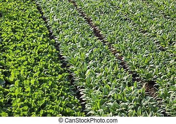 full frame background of asparagus lettuce fields in spring...