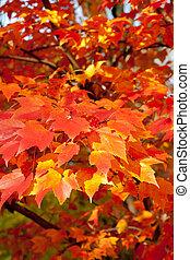 Full Frame Bunch Orange Autumn Maple Leaves Tree - Close up...