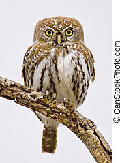 Pearlspotted Owl - Full frontal picture of a Pearlspotted...