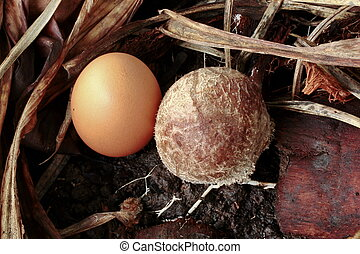 Full-grown bamboo mushrooms compared with egg-size 0