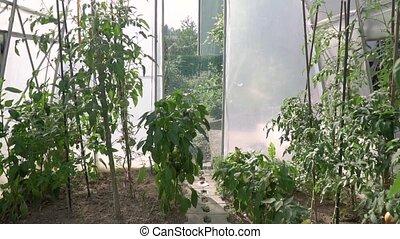 Full hd crane shot video of greenhouse tomato brushwood with...