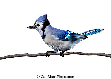 horizontal view of bluejay perched on a branch