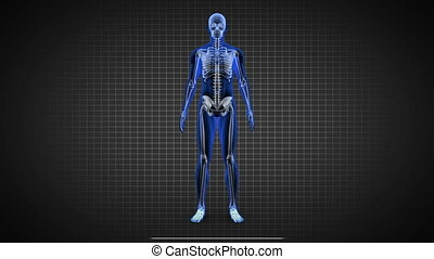 Blue full human body scan showing skeleton with copy spaces on black background