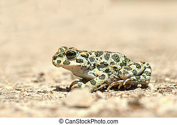 full length image of european green toad