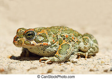 full length image of young green common toad