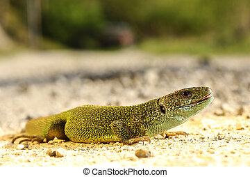 full length Lacerta viridis male in natural habitat, green...