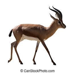 full length of Dorcas gazelle on white background - full...