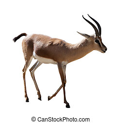 Dorcas gazelle on white - full length of Dorcas gazelle on...