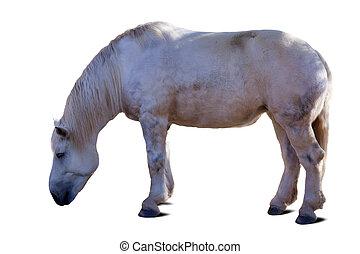 full length of white horse. Isolated over white