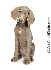 Full length photo of a young Weimaraner dog
