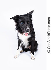Full length portrait of a bored border collie dog isolated on white with copy space.