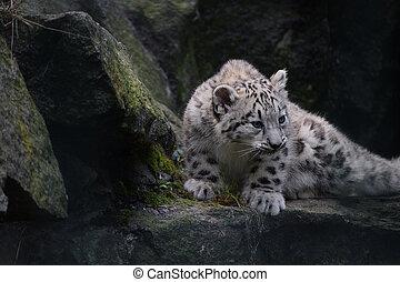 Full length portrait of snow leopard cub on rocks