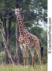 Full length body picture of a giraffe with trees in the background