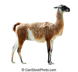 Full length shot of guanaco. Isolated over white background