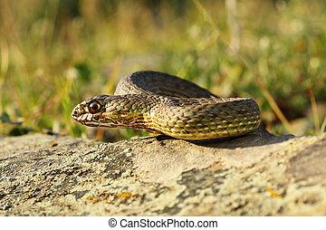full length view of eastern montpellier snake