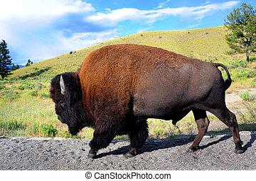 Full Lenth Buffalo - Buffalo walks besides road in...